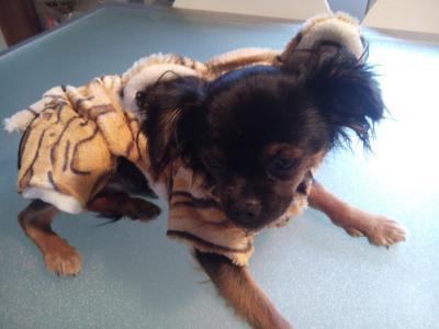 Vêtement chien, combinaison polaire style tigre.