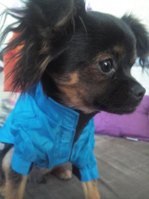 Vêtement chien, K-way imperméable bleu et orange.